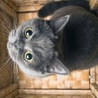 The grey cat British breed - Stock Photo