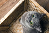 The grey cat British breed — Stock Photo