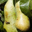 Pears and wasp — Stock Photo