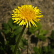 Stock Photo: Taraxacum officinale