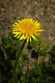 Taraxacum officinale — Foto de Stock