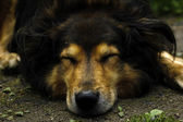 Sleeping dog — Foto de Stock