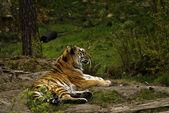 シベリアトラ (アムールトラ) — ストック写真