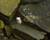 Stoat at Obrestad, Norway — Foto Stock