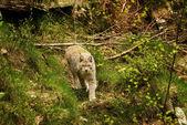 Lynx lynx — Zdjęcie stockowe