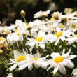 Oxeye daisy - Stock Photo