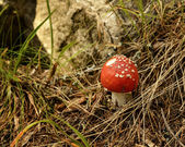 Fly Amanita — Stock Photo