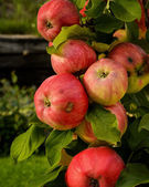 Apples — Foto Stock