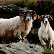 Scottisch Blackface sheep — Stock Photo