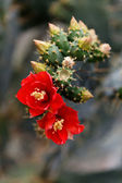 Opuntia bergeriana — Stock Photo