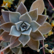 Ghost Echeveria — Stock Photo #28680285