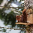 Stock Photo: Red squirel