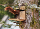 Red squirel — Stock Photo