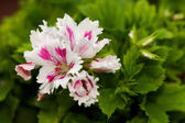 Geraniums Fringed Aztec — Stock Photo