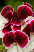 Geraniums Fringed Aztec — Stock Photo