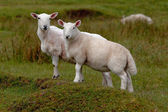 Grazing lambs — Stock Photo