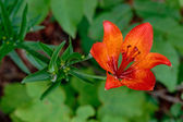 Orange lily in the wild — Stock Photo