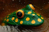 Frog atraction — Stock Photo