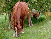 Horses on pasture — Stock Photo