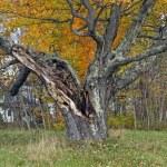 Maple Tree — Stock Photo #14833433