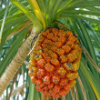 Ripe Pandanus Fruit — Stock Photo