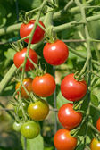 Sweet 100 Cherry-Tomaten — Stockfoto