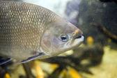 タンバキ魚 — ストック写真
