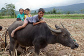 Boy Riding Water Buffalo — Stock Photo