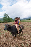 Filipino Children Riding Water Buffalo — Stock Photo