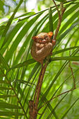 Philippine tarsier — Stock Photo
