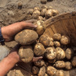 Fresh Dug Potatos — Stock Photo #21023671