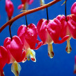 Bleeding Heart Flowers — Stock Photo #21023881