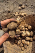 Vers gegraven potatos — Stockfoto
