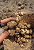 čerstvě vykopané brambory — Stock fotografie