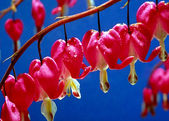 Bleeding Heart Flowers — Stock Photo
