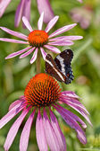 Butterfly on Echinacia — Stock Photo