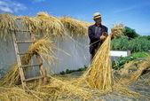Man Thatching Straw — Stock Photo