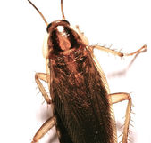German Cockroach — Stock Photo