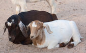 A male and female goat — Stock Photo