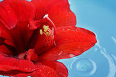 Red flower floating in water — Stock Photo