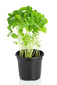 Young basil plant in a plastic pot on white background — Stock Photo