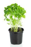 Planta de albahaca joven en un pote plástico sobre fondo blanco — Foto de Stock