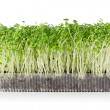 Growing microgreens — Stock Photo
