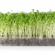 Stock Photo: Growing microgreens