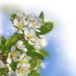 Apple  blossom border — Stock Photo