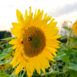 Stock Photo: Lonely flower of sunflower close up