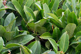 Bay leaf texture — Stock Photo