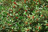 Holly tree branch — Stock Photo