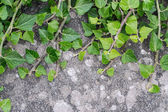 Ivy growing on a brick wall — Stock Photo
