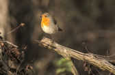 Robin, a symbol of the coming winter and Christmas. — Stock Photo